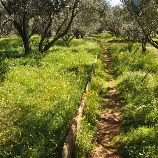 hiking trail through olive trees Lumbarda