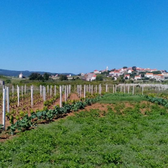 vineyards lumbarda croatia